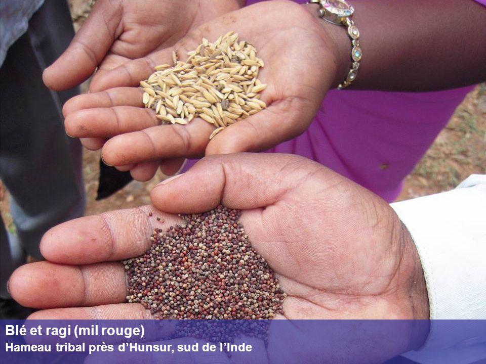 Blé et ragi (mil rouge) Hameau tribal près d'Hunsur, sud de l'Inde