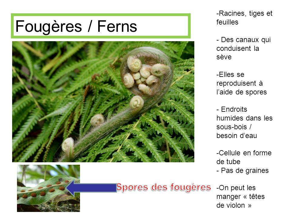 Fougères / Ferns Spores des fougères Racines, tiges et feuilles