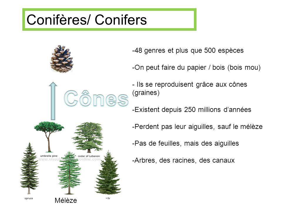 Cônes Conifères/ Conifers 48 genres et plus que 500 espèces