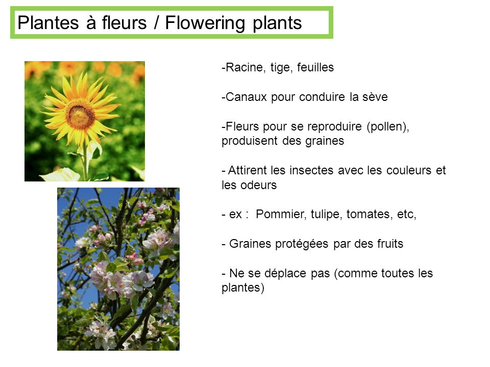Plantes à fleurs / Flowering plants