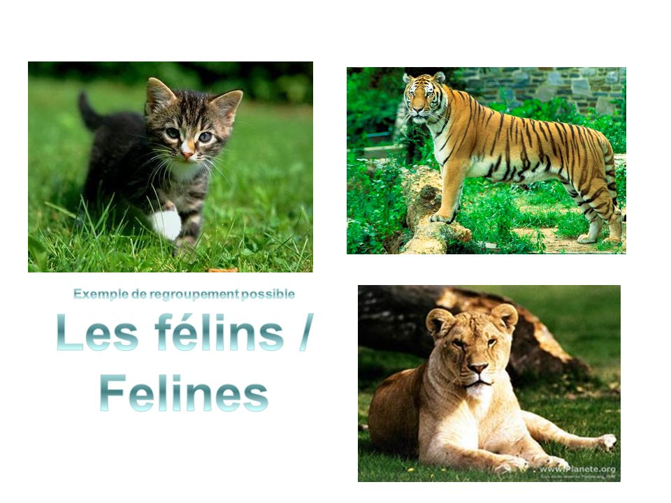 Exemple de regroupement possible Les félins / Felines