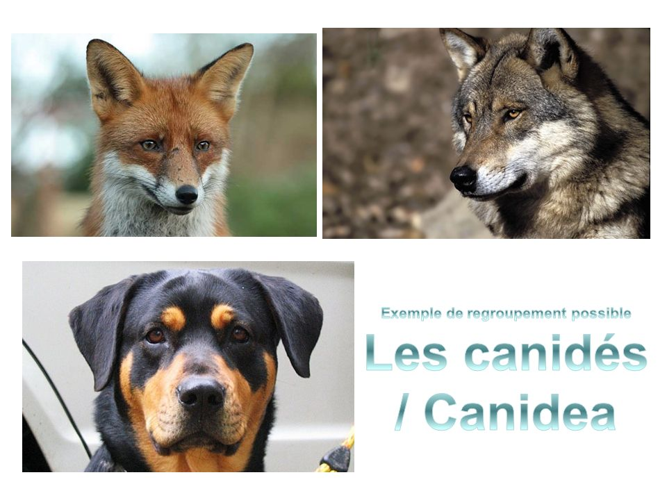 Exemple de regroupement possible Les canidés / Canidea