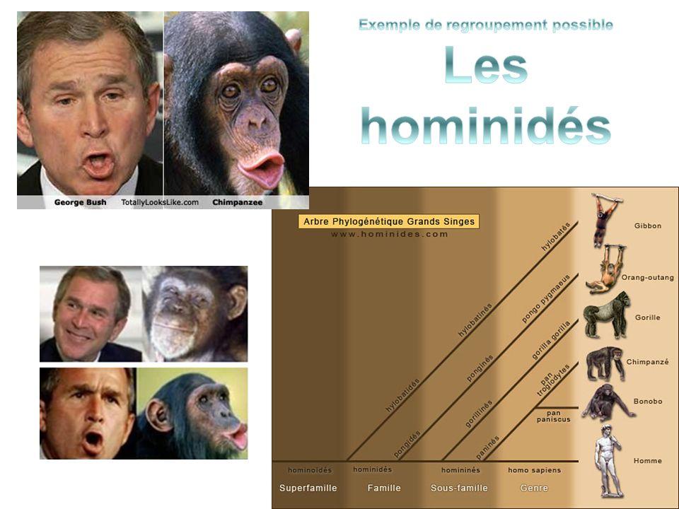 Exemple de regroupement possible Les hominidés