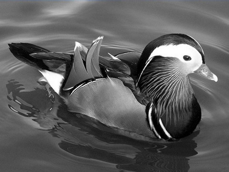 Un ruisseau gentiment suit son cours, un canard mandarin s'y dandine.