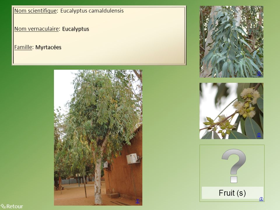 Fruit (s) Nom scientifique: Eucalyptus camaldulensis