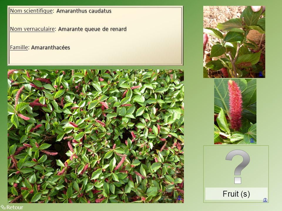 Fruit (s) Nom scientifique: Amaranthus caudatus
