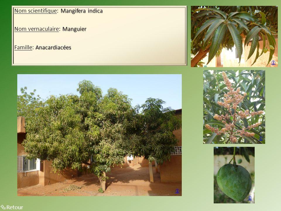 Arbre en entier Nom scientifique: Mangifera indica