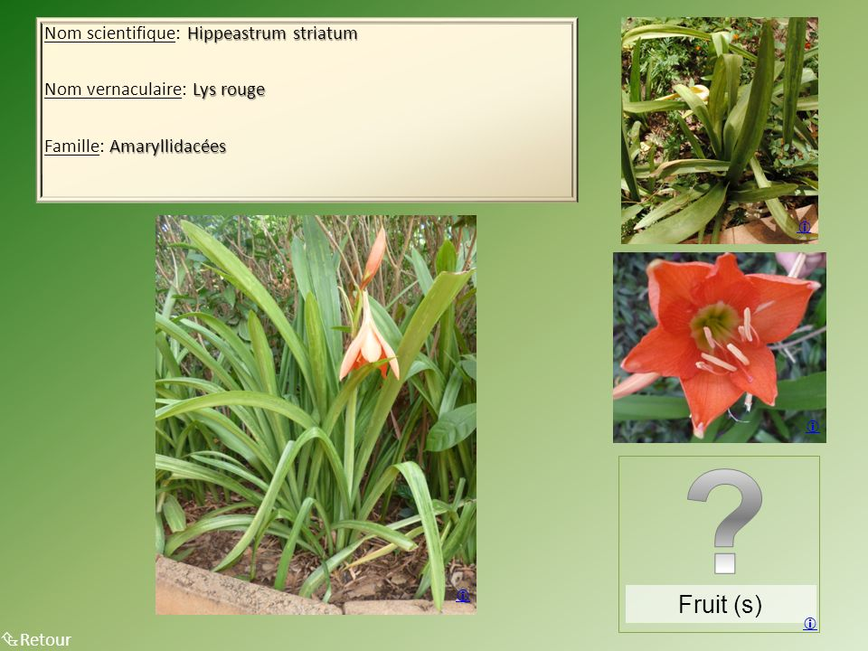 Fruit (s) Nom scientifique: Hippeastrum striatum