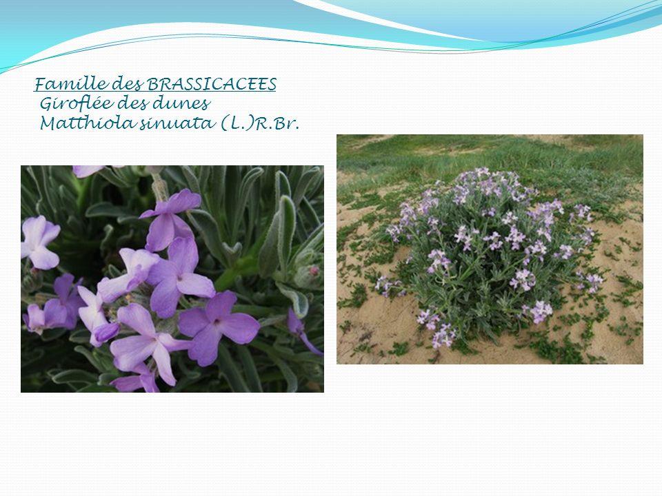 Famille des BRASSICACEES Giroflée des dunes Matthiola sinuata (L. )R