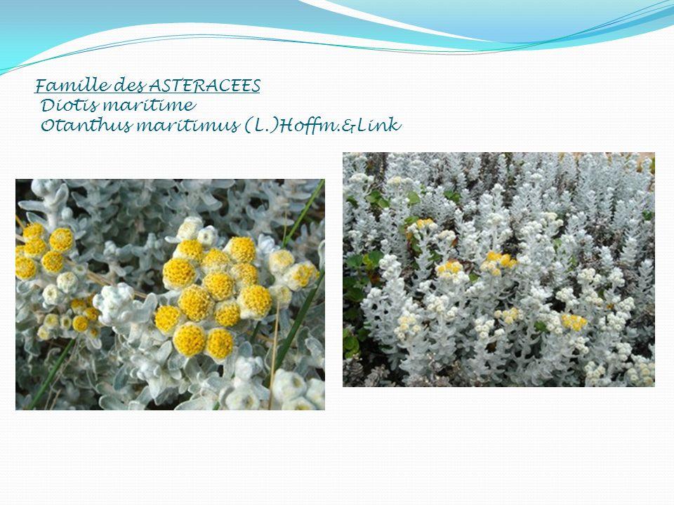 Famille des ASTERACEES Diotis maritime Otanthus maritimus (L. )Hoffm