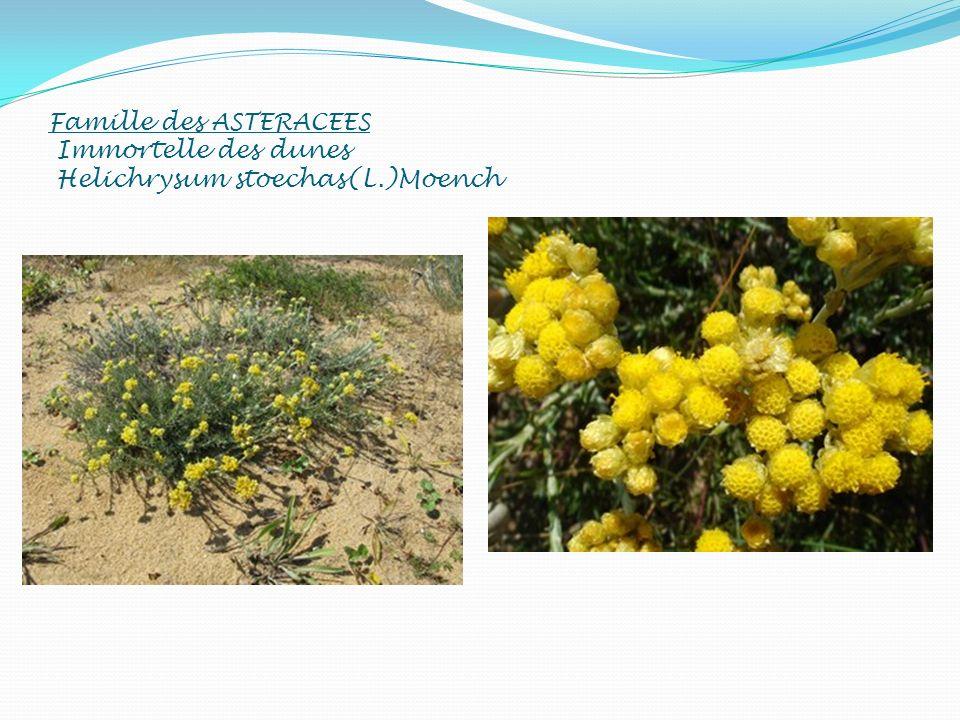 Famille des ASTERACEES Immortelle des dunes Helichrysum stoechas(L