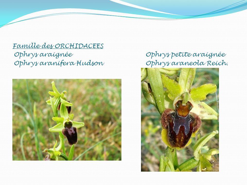 Famille des ORCHIDACEES