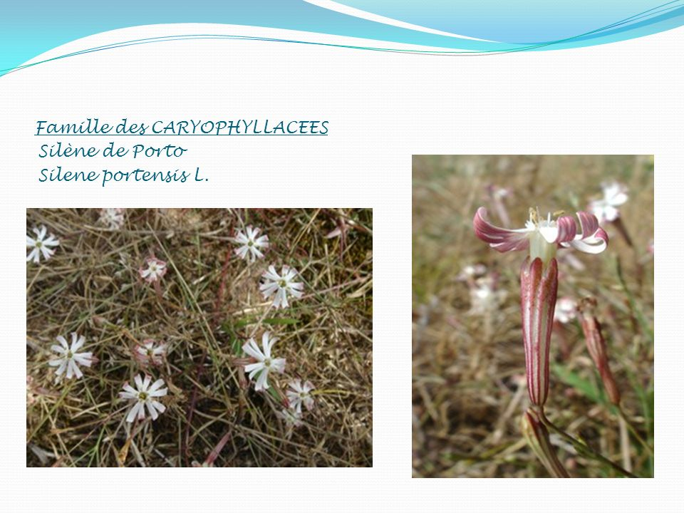 Famille des CARYOPHYLLACEES