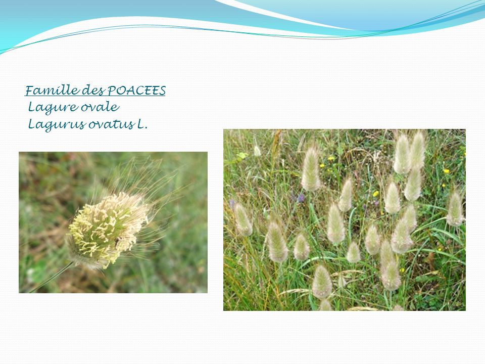 Famille des POACEES Lagure ovale Lagurus ovatus L.