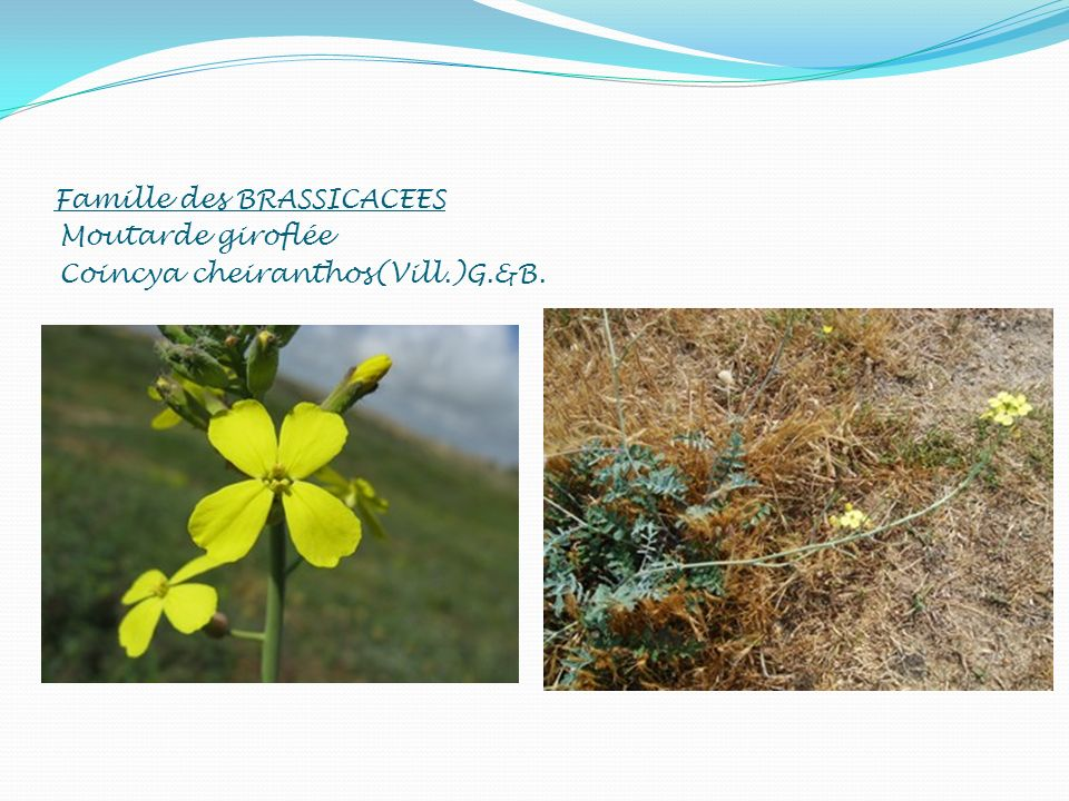 Famille des BRASSICACEES