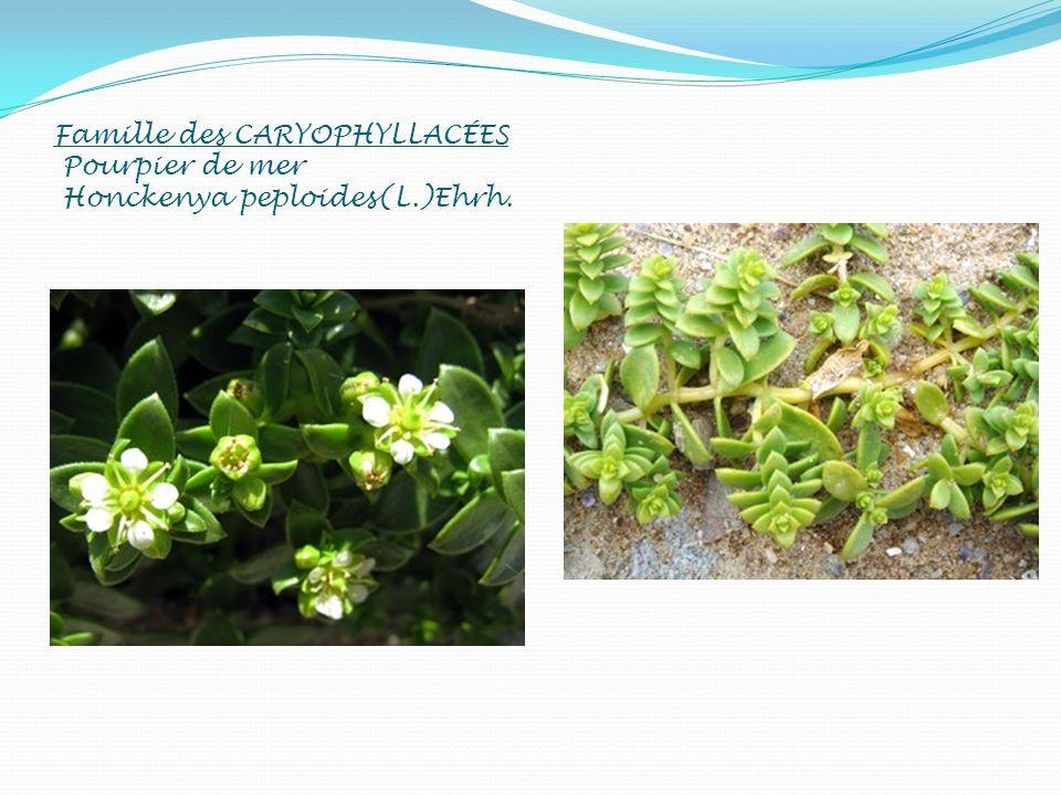 Famille des CARYOPHYLLACÉES Pourpier de mer Honckenya peploides(L