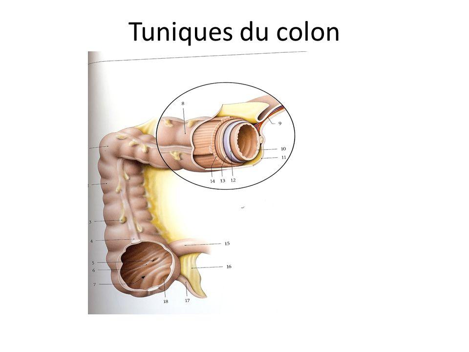 Tuniques du colon