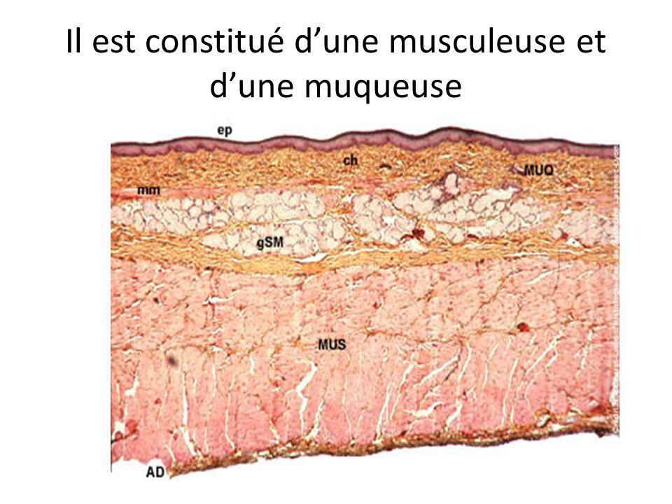 Il est constitué d'une musculeuse et d'une muqueuse