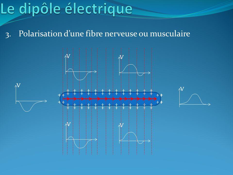 Polarisation d'une fibre nerveuse ou musculaire
