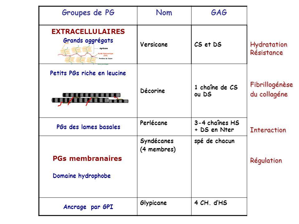 Groupes de PG Nom GAG EXTRACELLULAIRES Hydratation Résistance