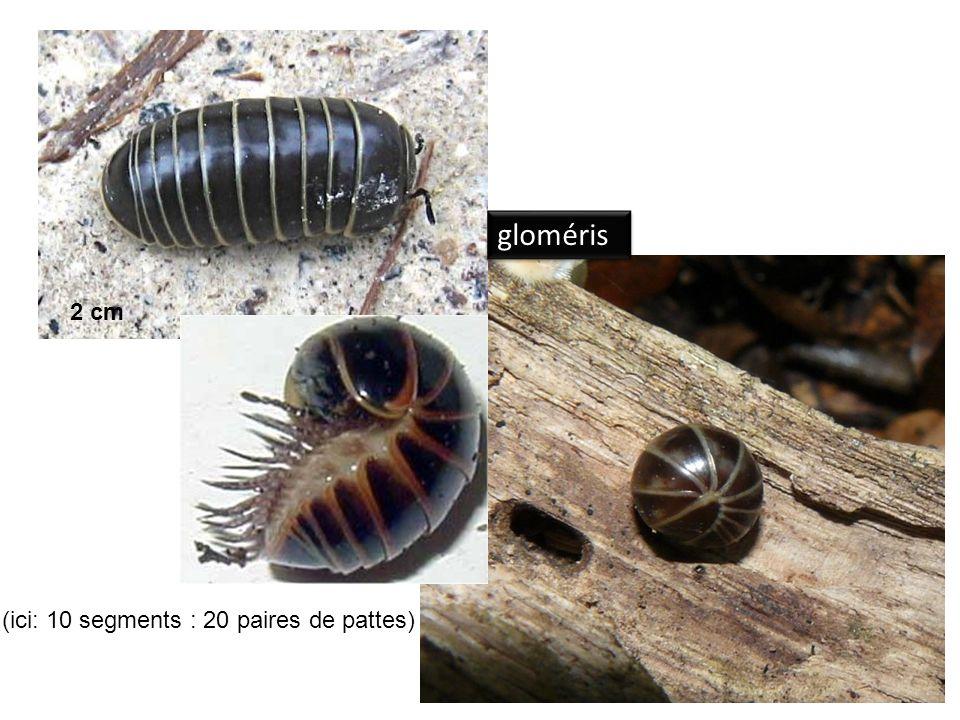 gloméris 2 cm (ici: 10 segments : 20 paires de pattes)
