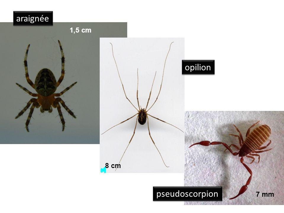 araignée 1,5 cm opilion 8 cm pseudoscorpion 7 mm
