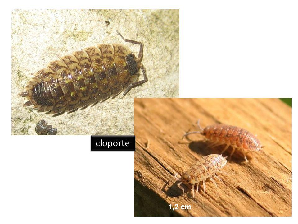 cloporte 1,2 cm