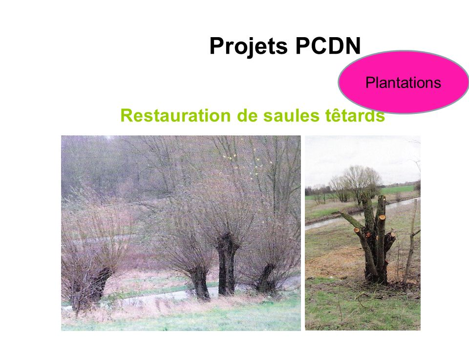 Restauration de saules têtards