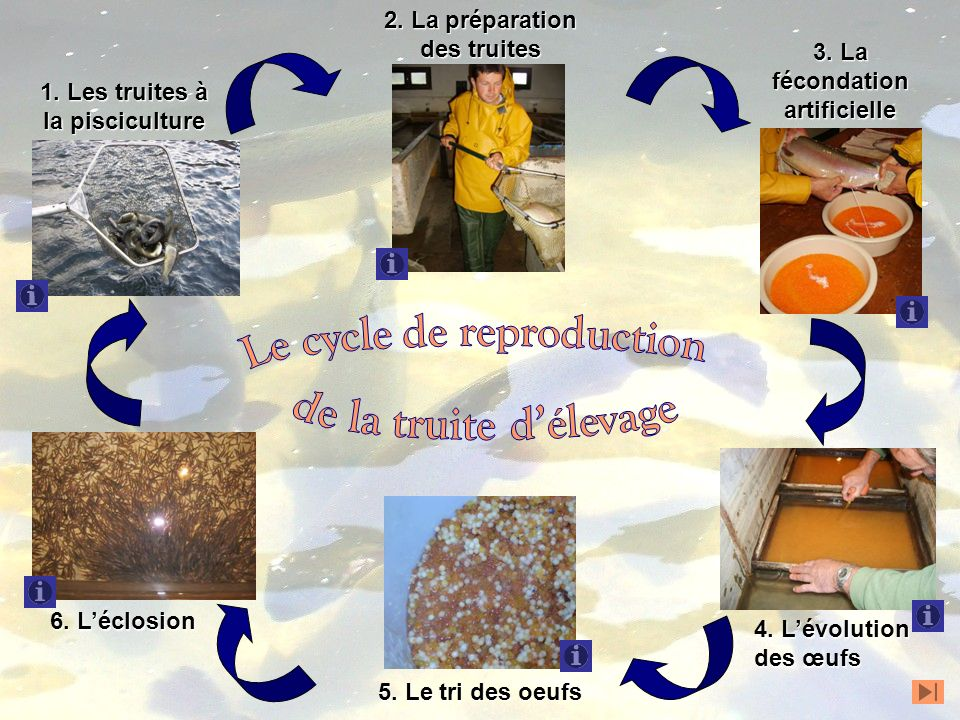 Le cycle de reproduction de la truite d'élevage