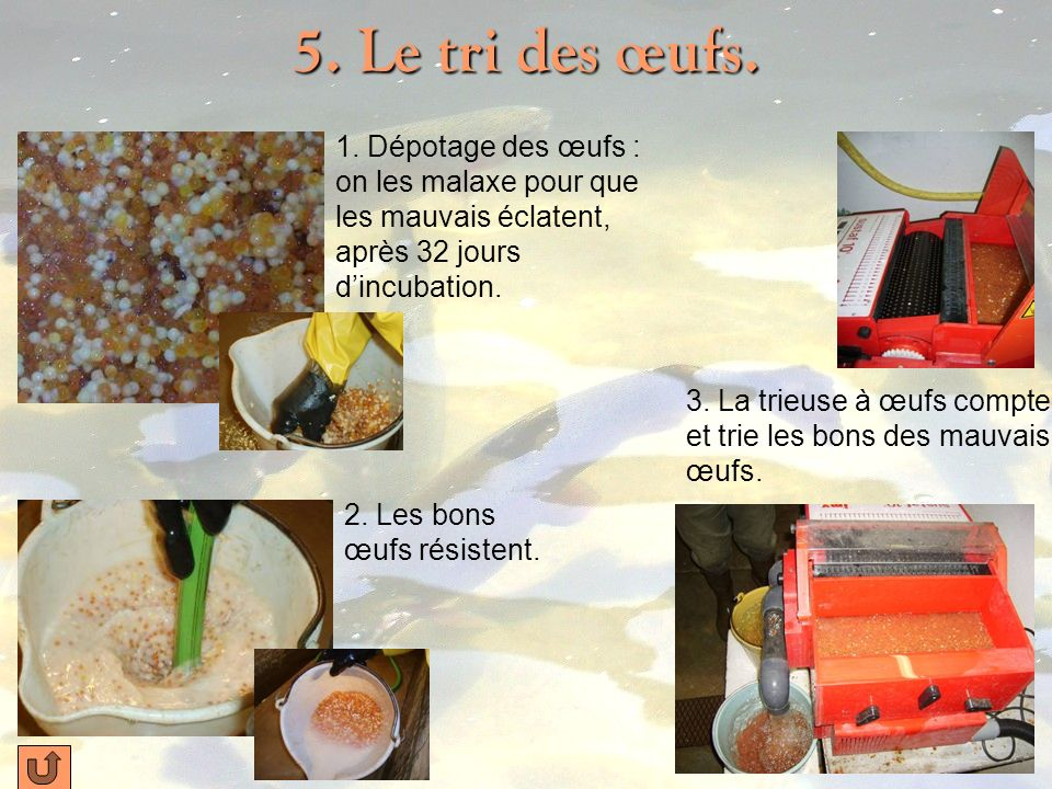 5. Le tri des œufs. 1. Dépotage des œufs : on les malaxe pour que les mauvais éclatent, après 32 jours d'incubation.