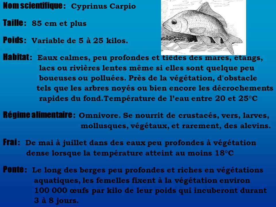 Nom scientifique : Cyprinus Carpio Taille : 85 cm et plus