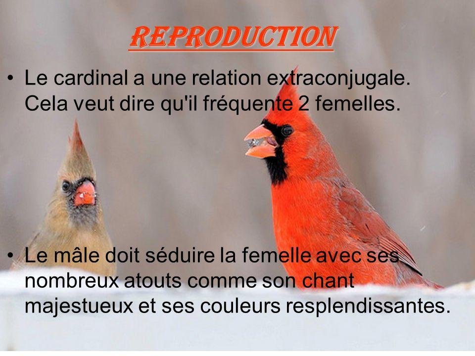 Reproduction Le cardinal a une relation extraconjugale. Cela veut dire qu il fréquente 2 femelles.