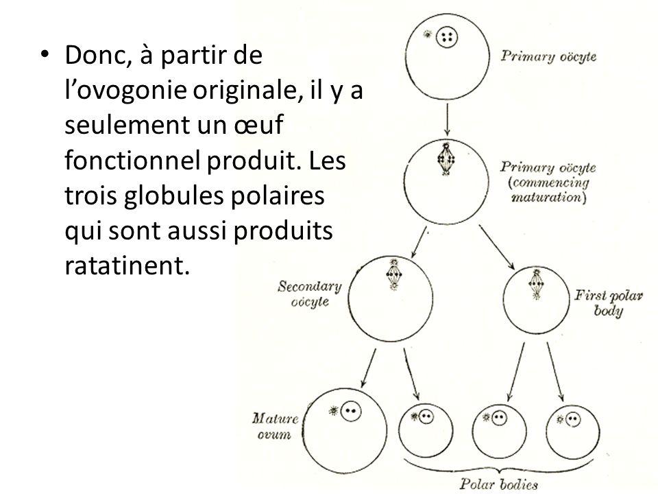 Donc, à partir de l'ovogonie originale, il y a seulement un œuf fonctionnel produit.