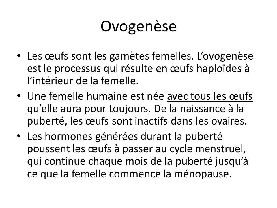 Ovogenèse Les œufs sont les gamètes femelles. L'ovogenèse est le processus qui résulte en œufs haploïdes à l'intérieur de la femelle.