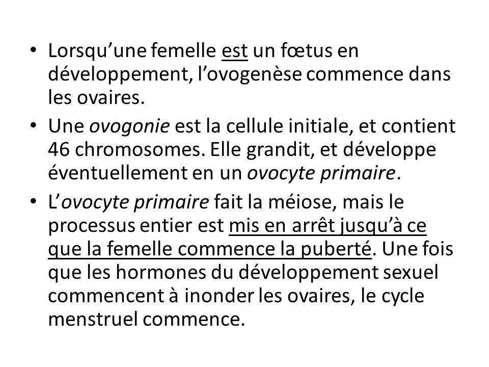 Lorsqu'une femelle est un fœtus en développement, l'ovogenèse commence dans les ovaires.