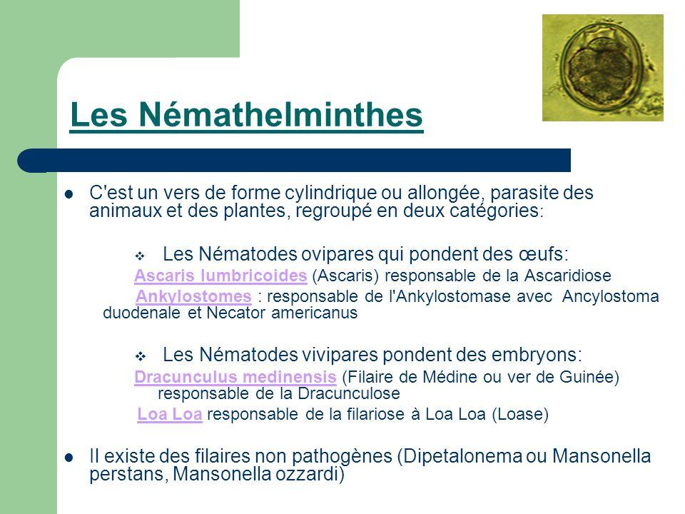 Les Némathelminthes C est un vers de forme cylindrique ou allongée, parasite des animaux et des plantes, regroupé en deux catégories: