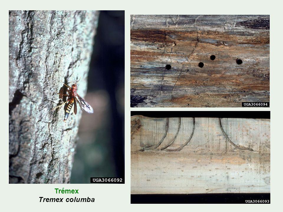 Trémex Tremex columba