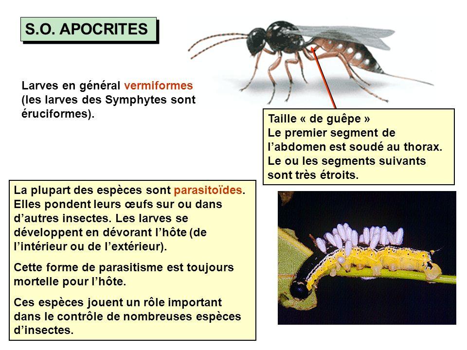 S.O. APOCRITES Larves en général vermiformes (les larves des Symphytes sont éruciformes).