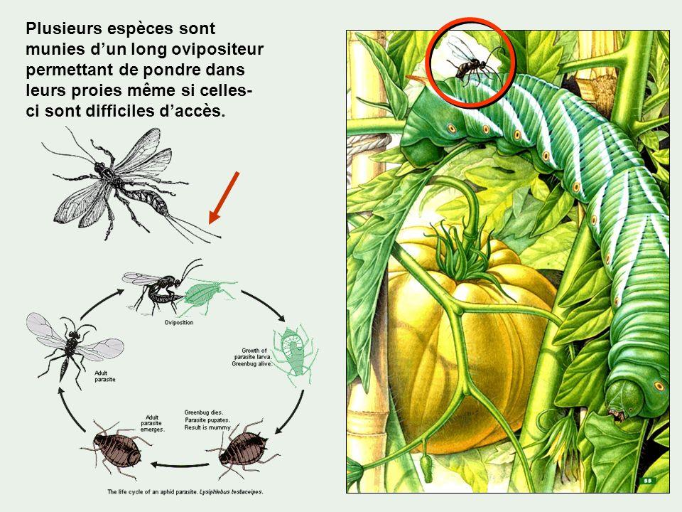 Plusieurs espèces sont munies d'un long ovipositeur permettant de pondre dans leurs proies même si celles-ci sont difficiles d'accès.