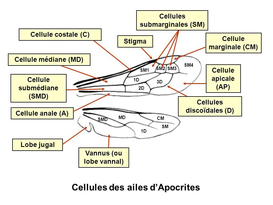 Cellules des ailes d'Apocrites