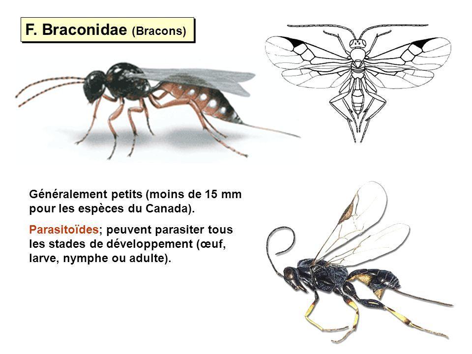 F. Braconidae (Bracons)