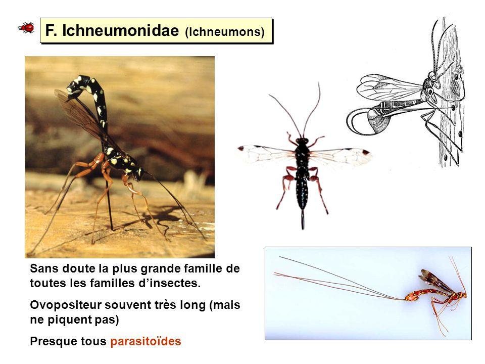 F. Ichneumonidae (Ichneumons)
