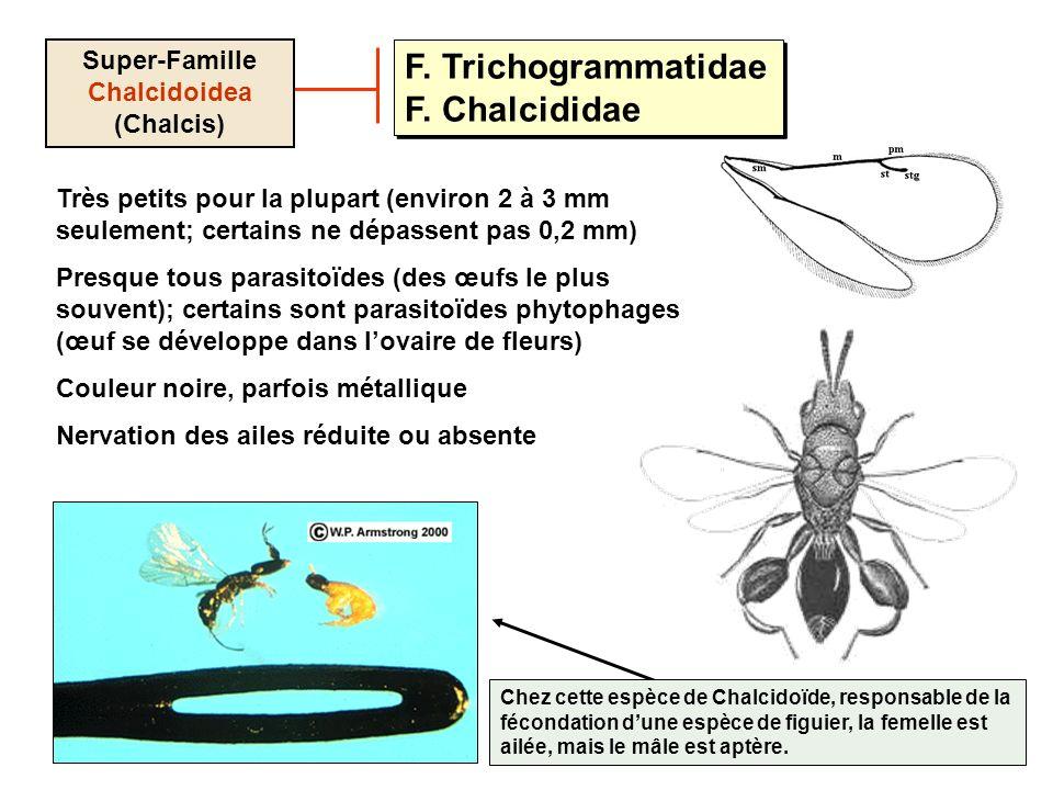 Super-Famille Chalcidoidea (Chalcis)