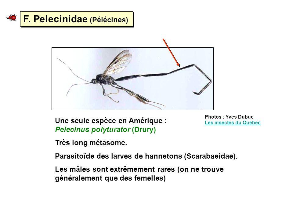F. Pelecinidae (Pélécines)
