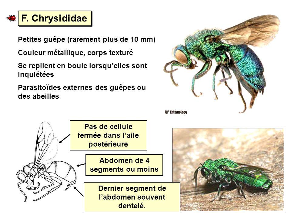 F. Chrysididae Petites guêpe (rarement plus de 10 mm)