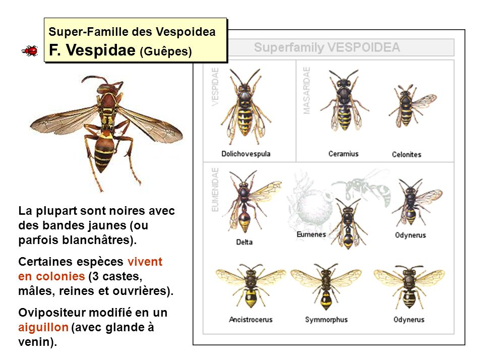 Super-Famille des Vespoidea F. Vespidae (Guêpes)