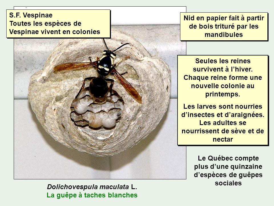 S.F. Vespinae Toutes les espèces de Vespinae vivent en colonies
