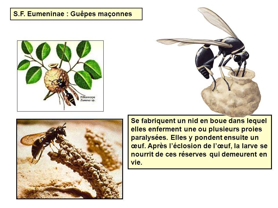 S.F. Eumeninae : Guêpes maçonnes