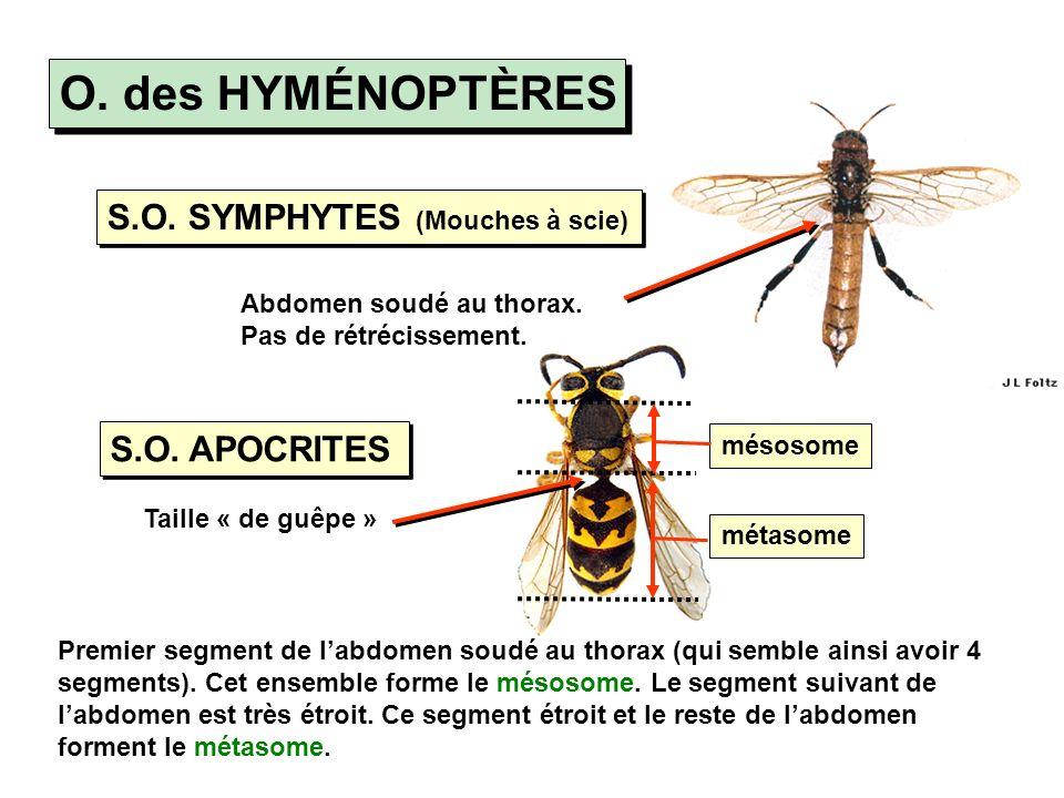 O. des HYMÉNOPTÈRES S.O. SYMPHYTES (Mouches à scie) S.O. APOCRITES