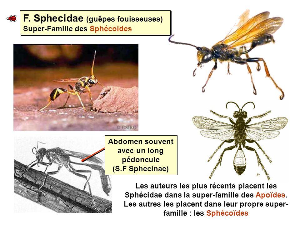 Abdomen souvent avec un long pédoncule (S.F Sphecinae)